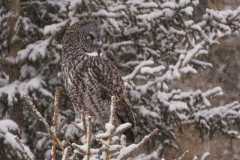Great Gray Owl, Water Valley, AB