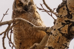 Great Horned Owlet, St George's Island