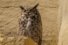 Great Horned Owl, Milk River