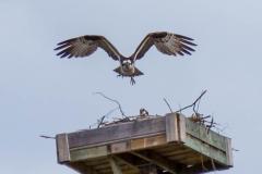 Osprey, Invermere, BC