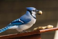 Blue Jay, Red Deer, AB