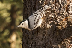 White Breasted Nuthatch, Fish Creek Provincial Park
