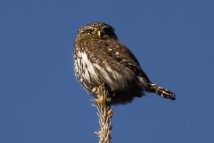 Northern Pygmy Owl, Fish Creek Provincial Park