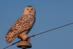 Snowy Owl, Southern Alberta