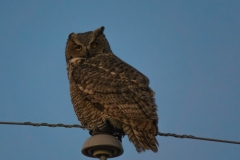 Great Horned Owl, Southern Alberta