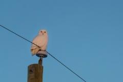 Snowy Owl, Rocky View County