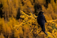 Raven, Healy Pass, AB