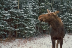 Moose in Kananaskis Country