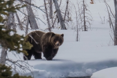 Grizzly Bear in Kananaskis Country