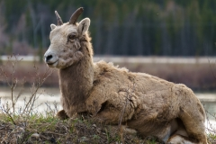 Mountain Sheep, Canmore