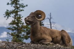 Bighorn Sheep, Icefields Parkway, AB