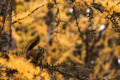 Chipmunk amongst Larches, Lake Louise