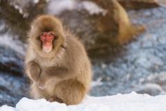 Snow Monkey, Jigokudani Park