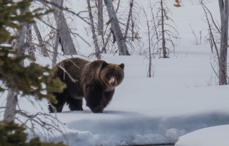 Grizzly Bear in Kananaskis
