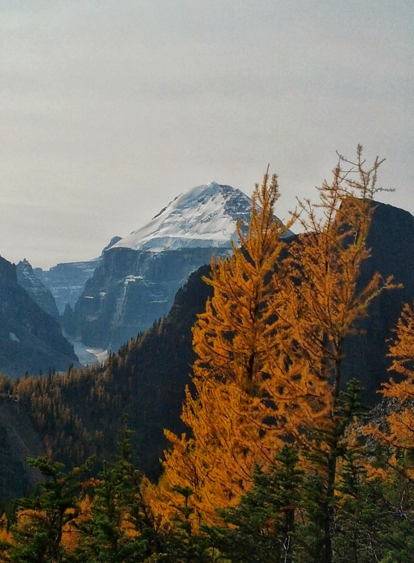 Golden Larch with Mount Temple in the background