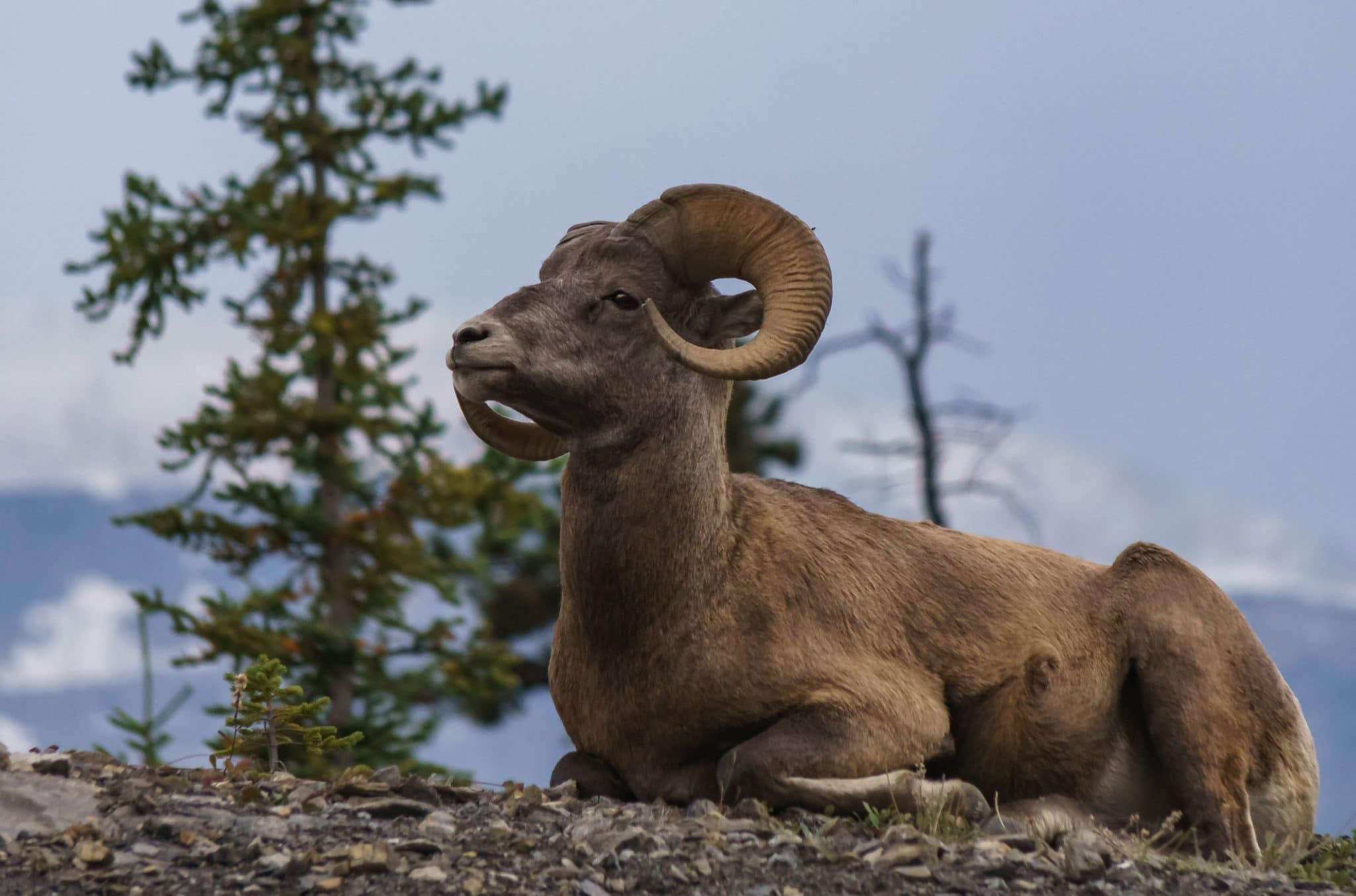 Big Horn Sheep in Jasper