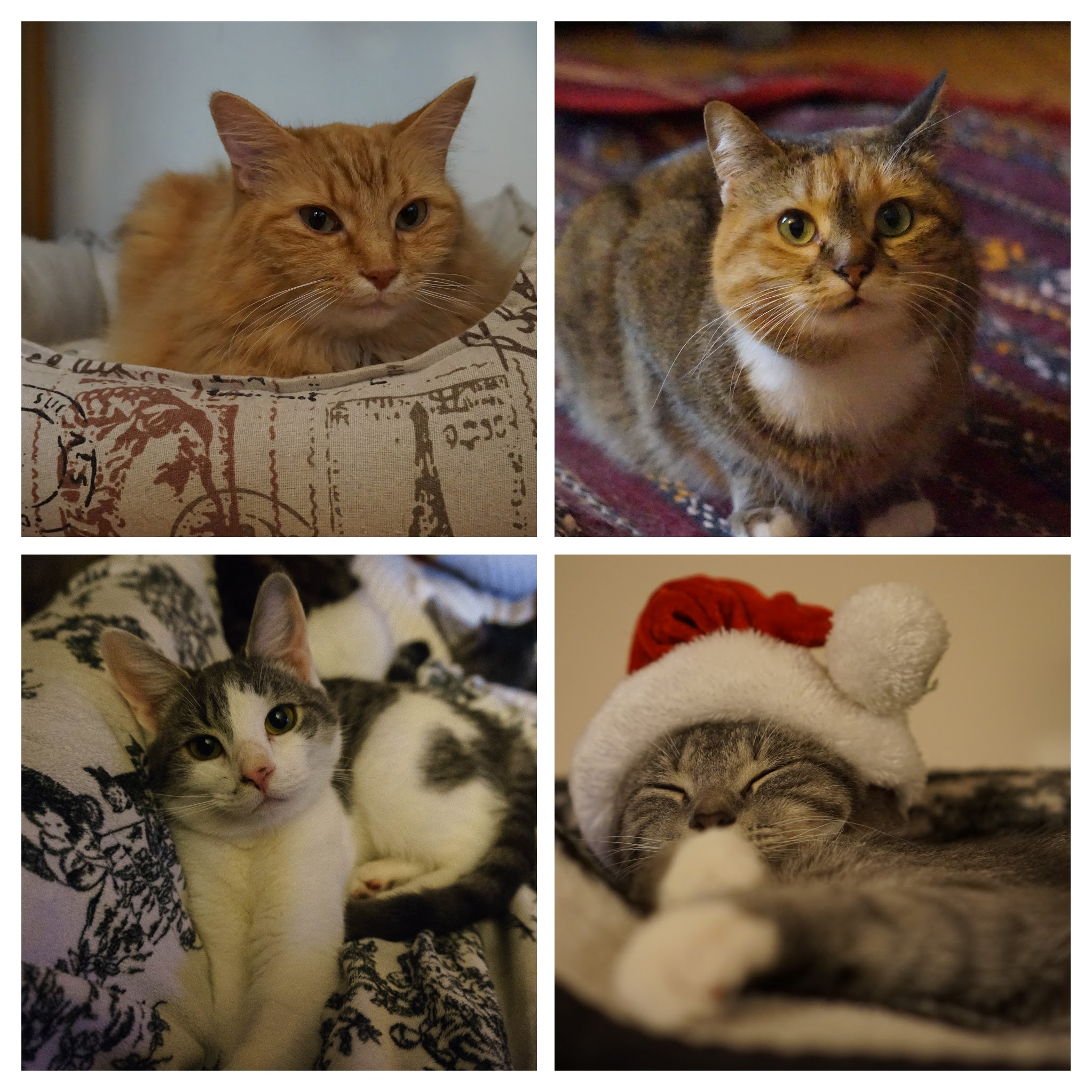 AARCs foster cats