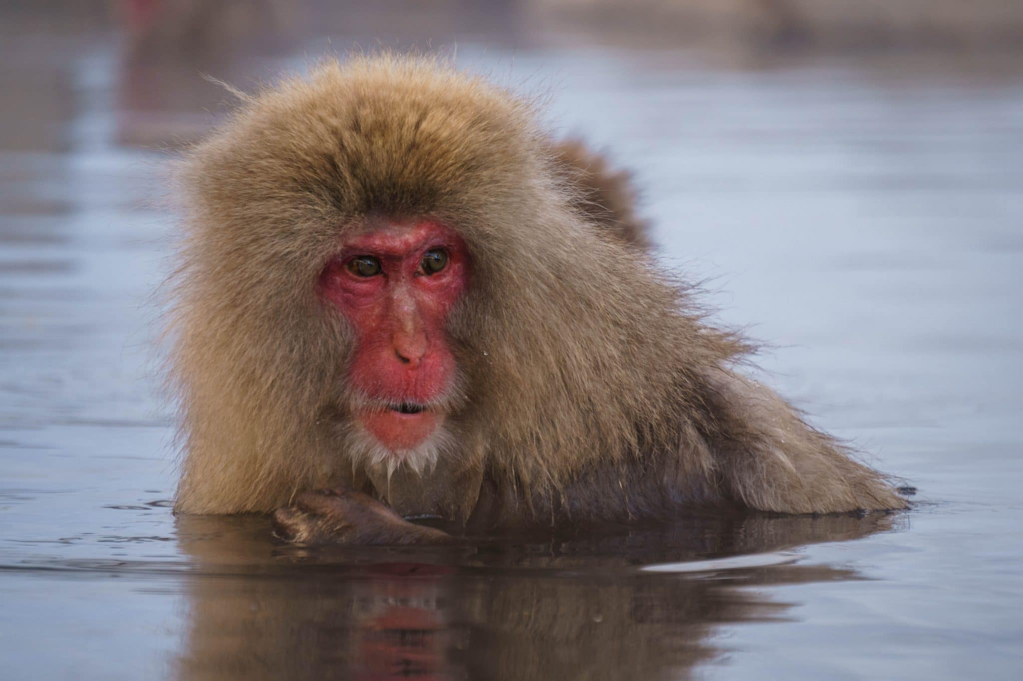 Snow Monkey at Jigokudani Park