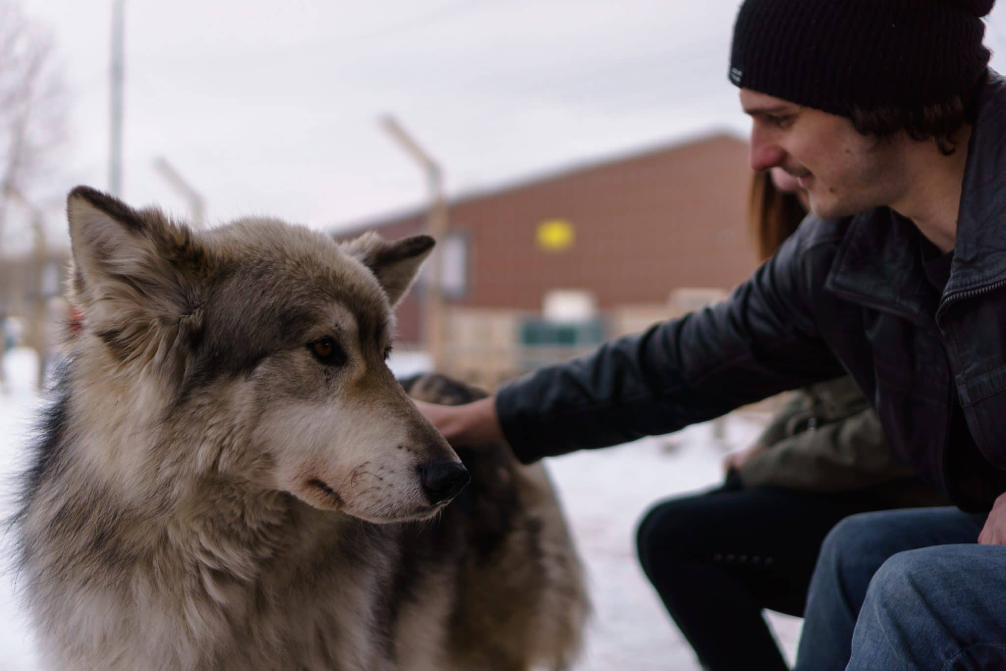 Petting one of the low-content wolfdogs on the interactive tour.