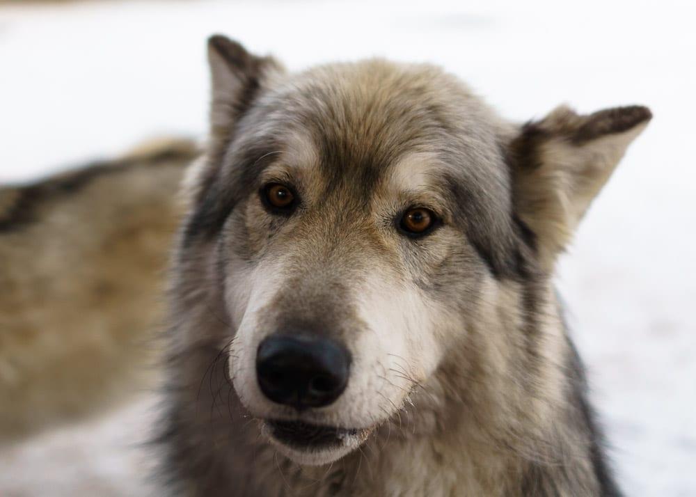 low content wolfdog from yamnuska wolfdog sanctuary