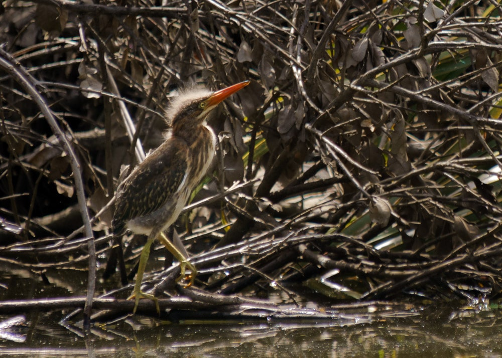 Baby Green Heron at the Humacao Nature Preserve