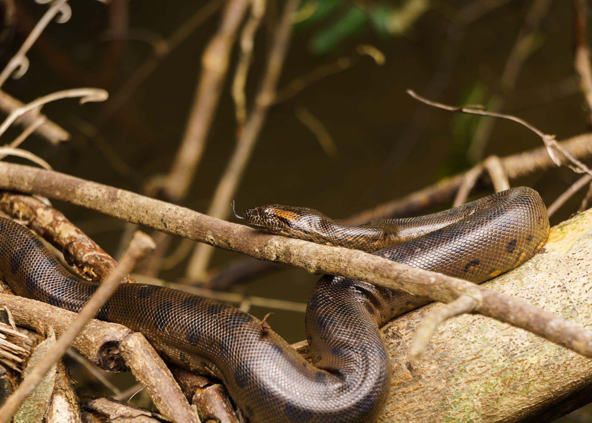 Baby Anoconda in Ecuador's Amazon