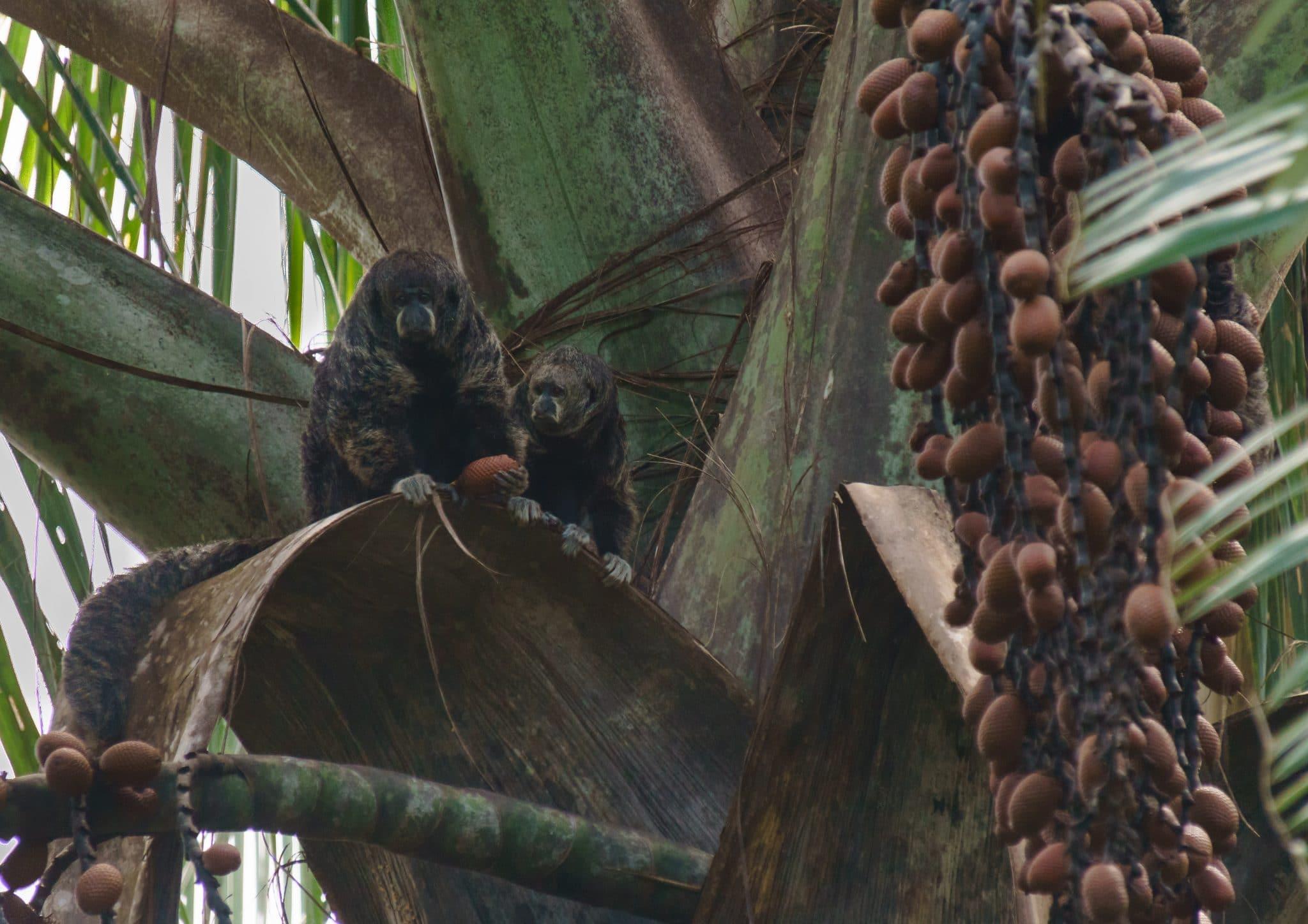 Black-Saki Monkeys