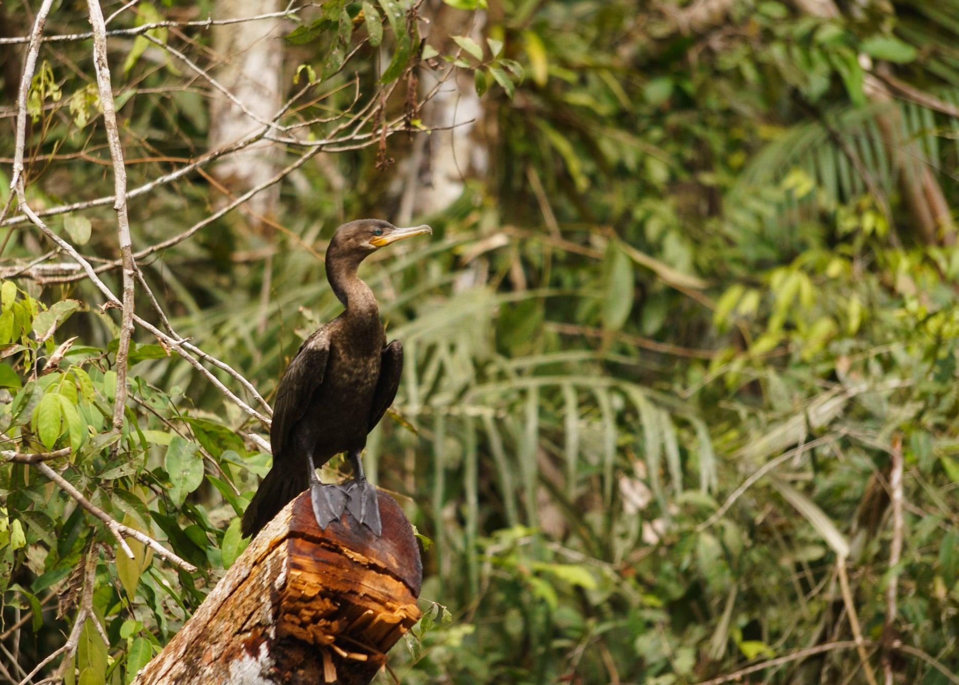 Cormorant posing along the Cuyabeno river bank