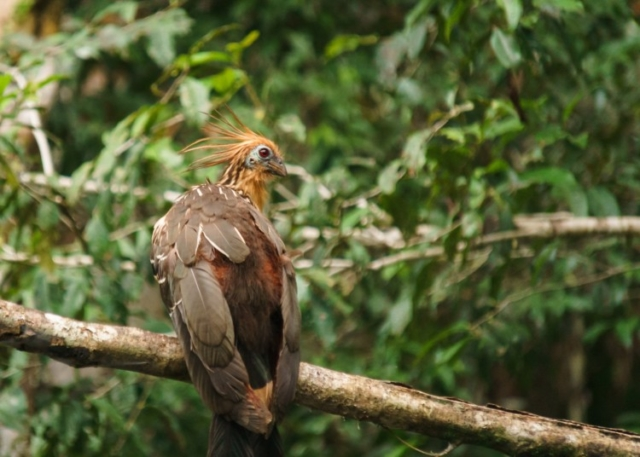 The Unique Hoatzin Bird in Ecuador