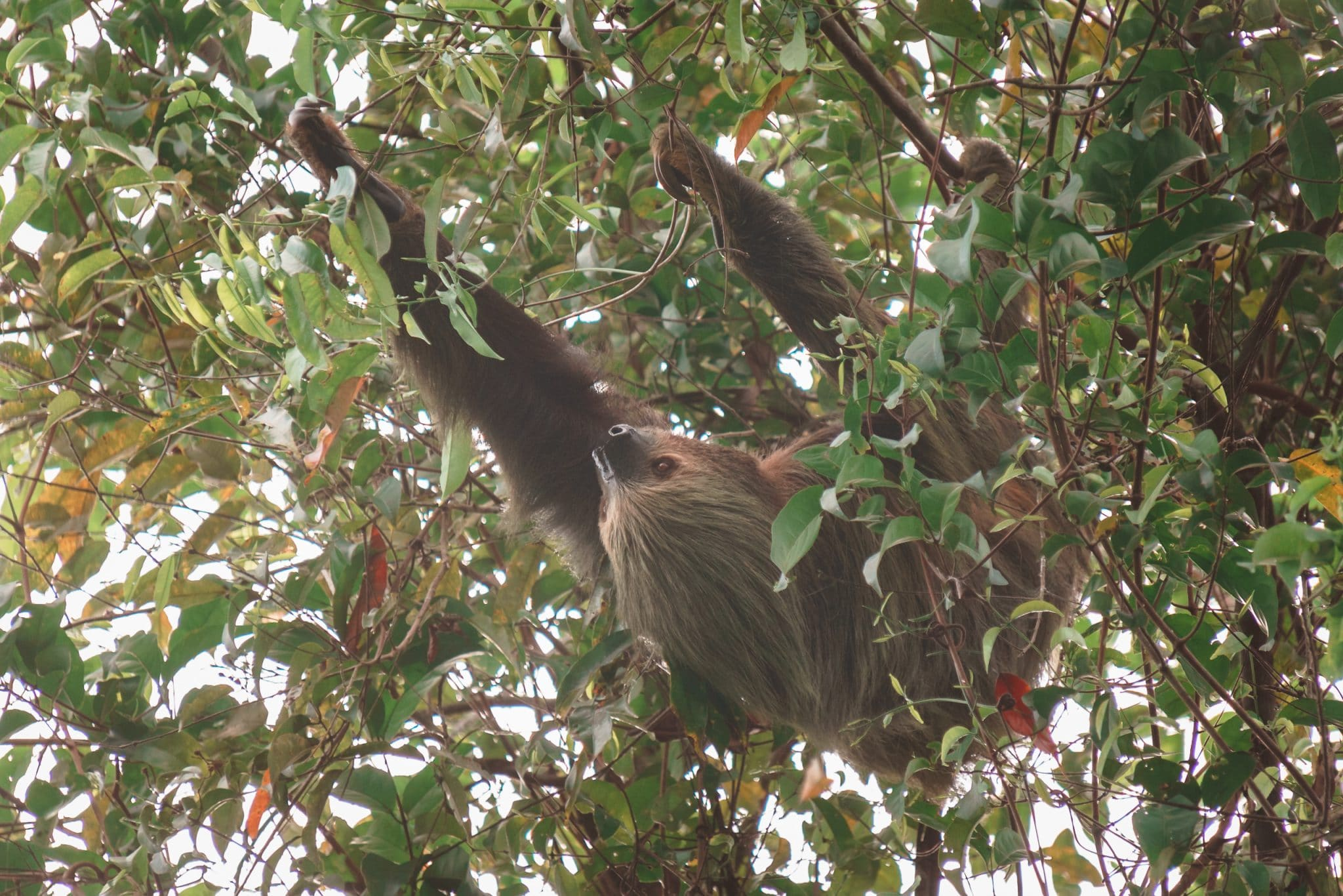 sloth in the amazon photographed from a boat