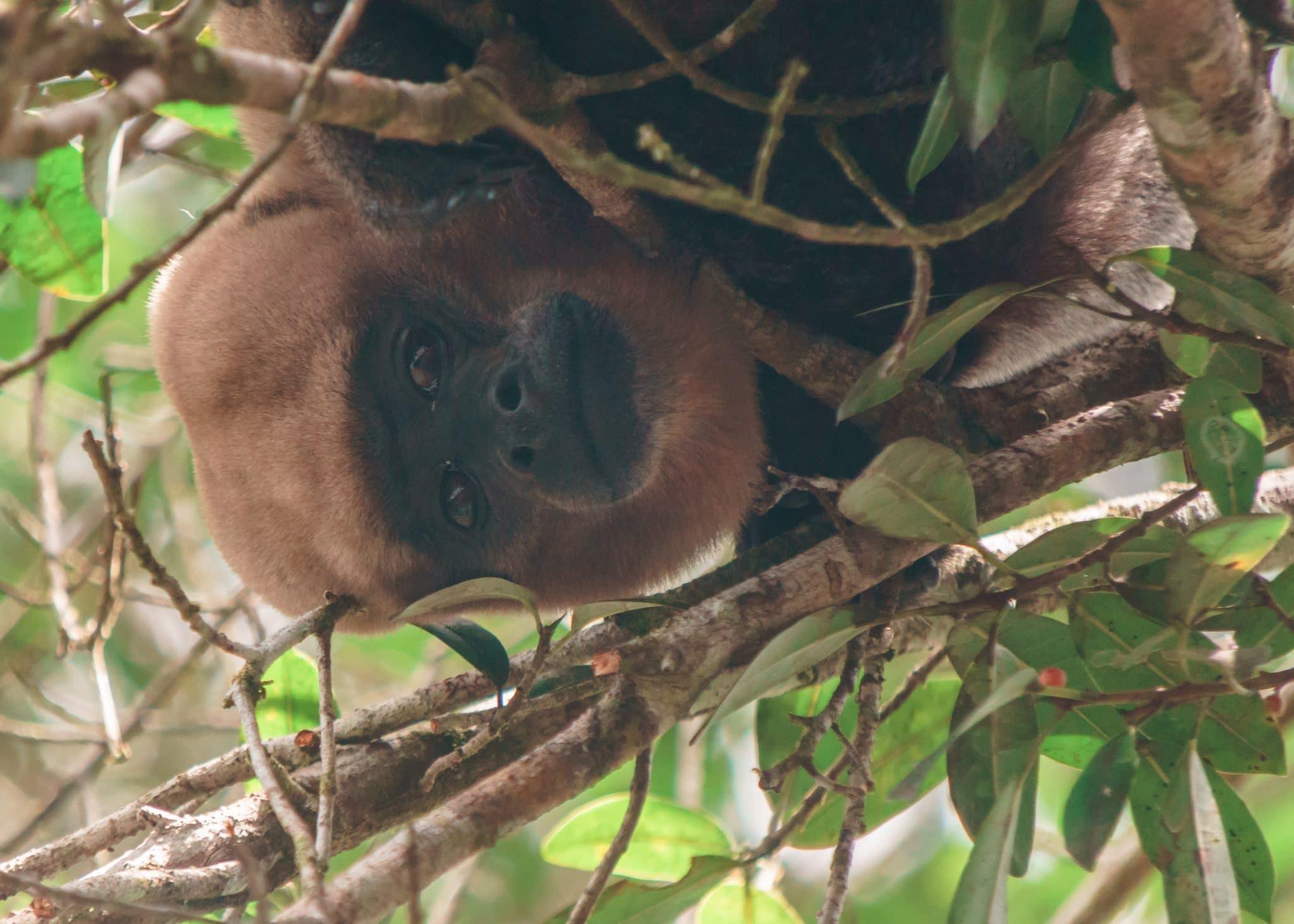 Wooly Monkey seen on our tour of the Ecuador Amazon
