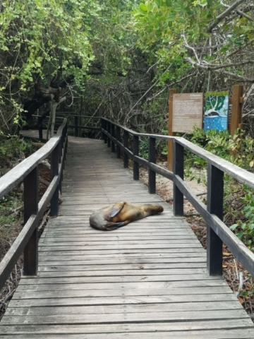 Sea Lions regularly block the path at Concha de Perla