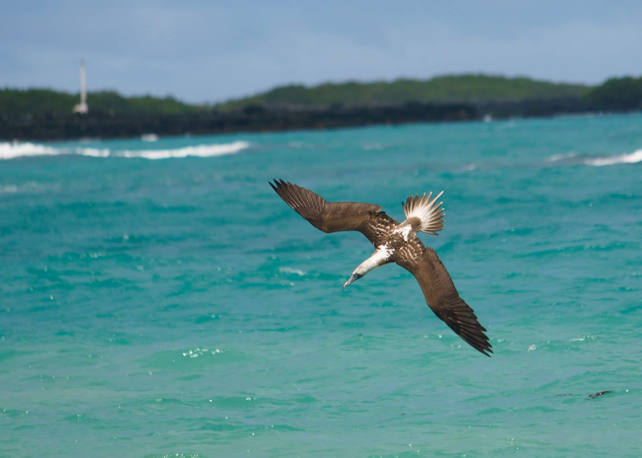 Blue Footed Booby diving off Isla Isabela