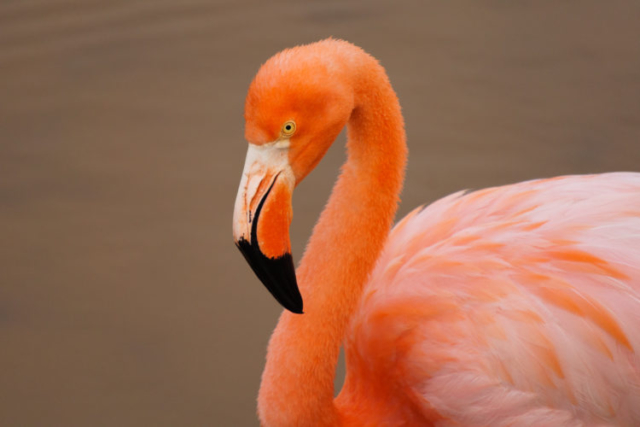 Flamingo on Isabela Island