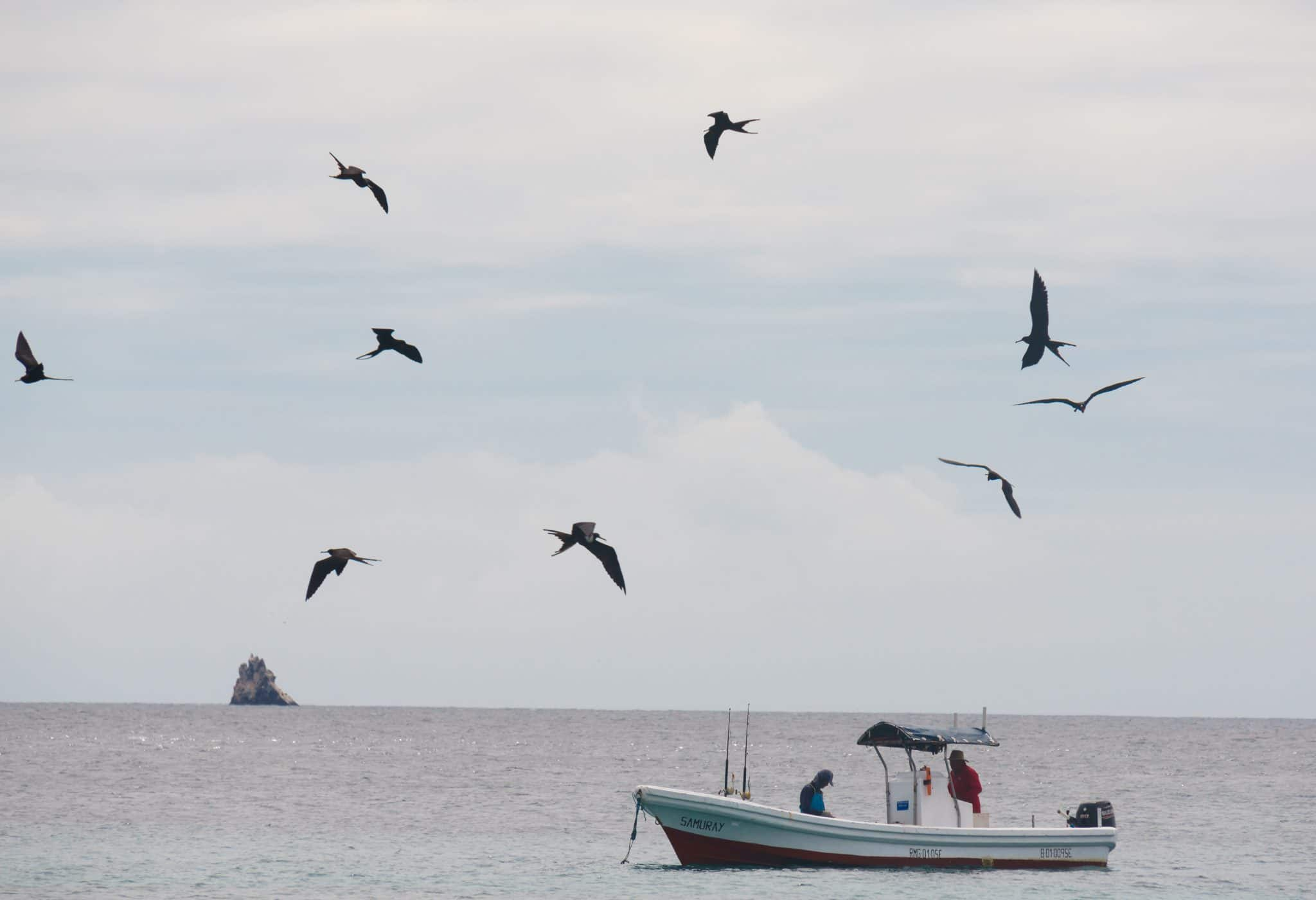Frigate Birds harassing a local fisherman