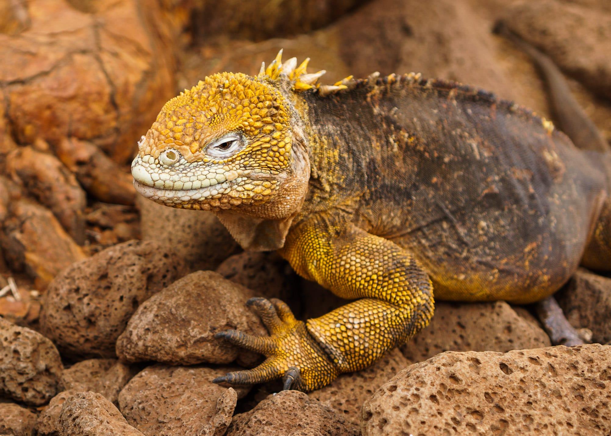 One of Galapagos Island's Marine Iguanas