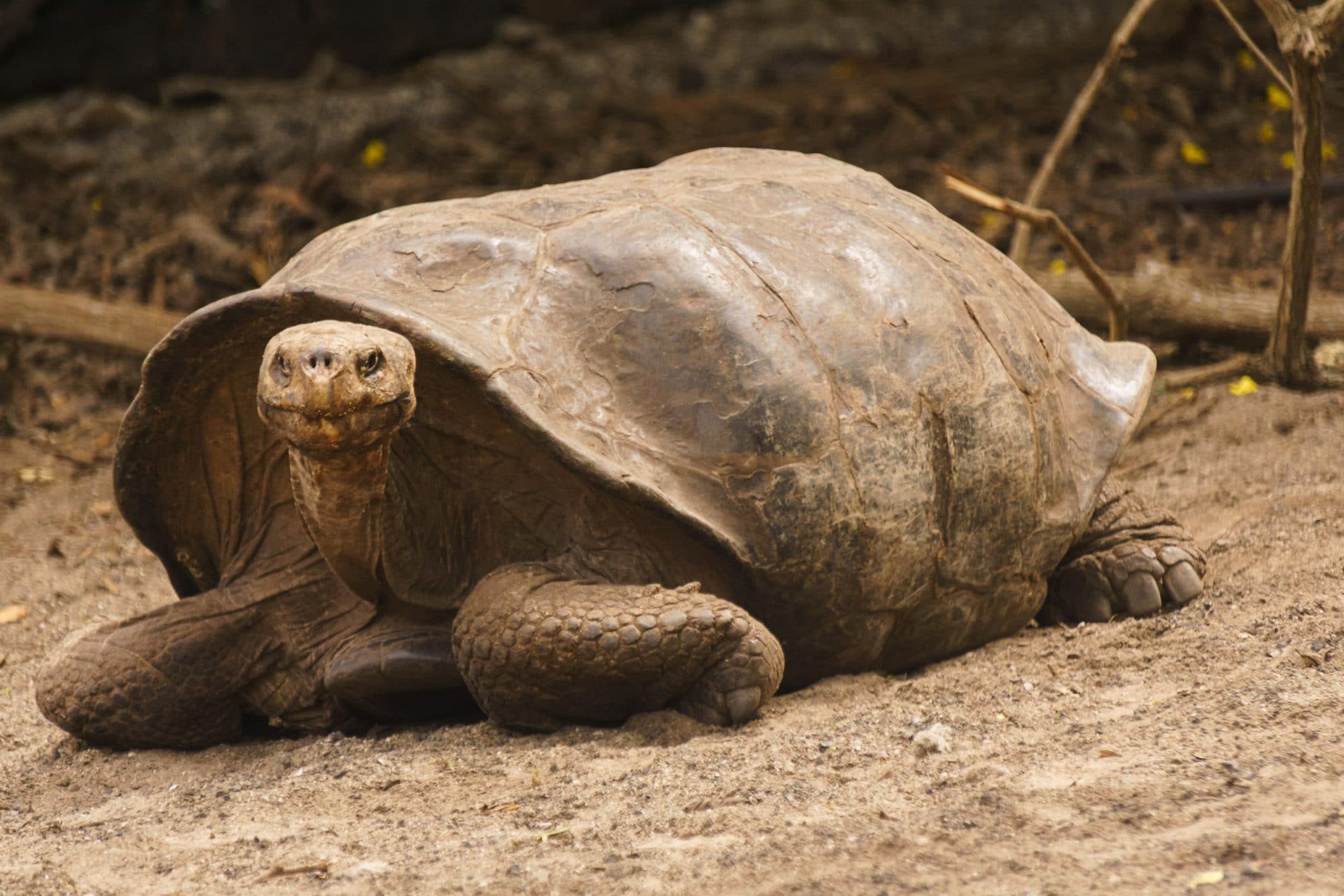 Giant Tortoise at Isabela Island's Breeding Centre