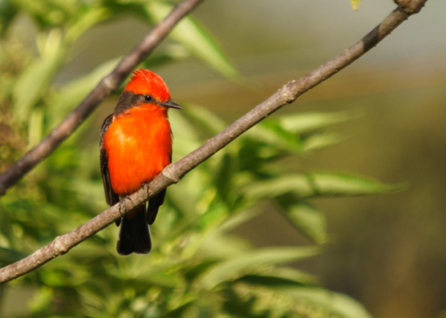 Vermillion Flycatcher in Quito Ecuador