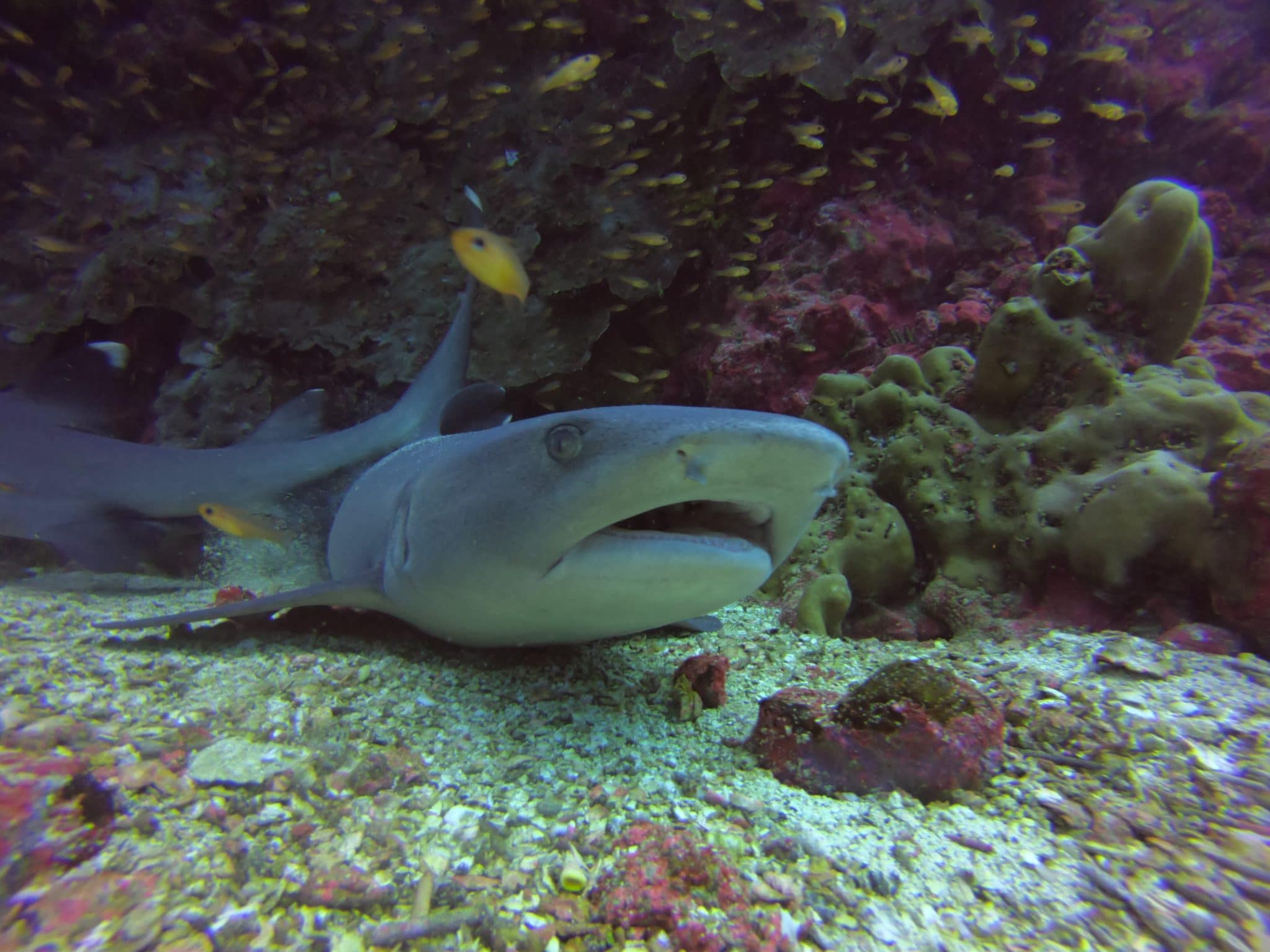 White Tipped Shark while diving North Seymour