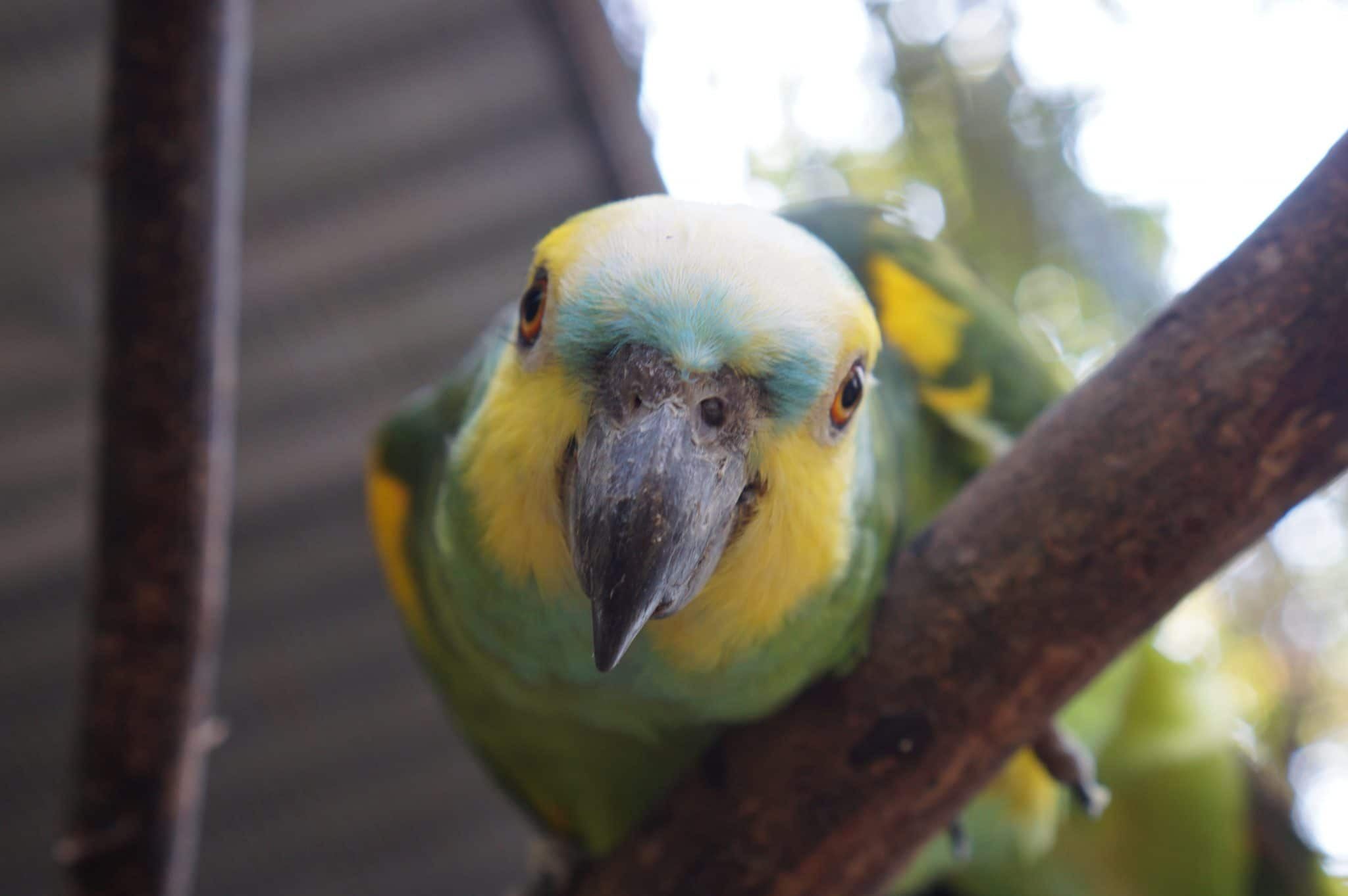 turquoise fronted amazon at ciwy bolivia