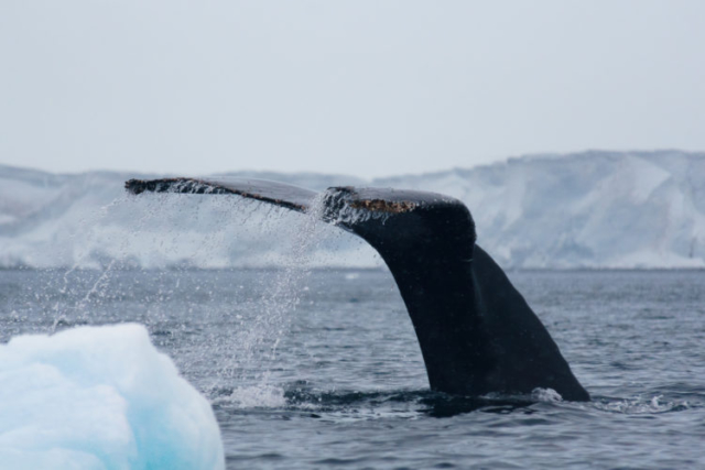 Humpback whale arching it's tail