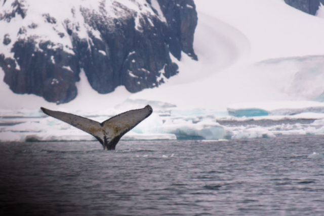 Humpback Whale Tale in Antarctica