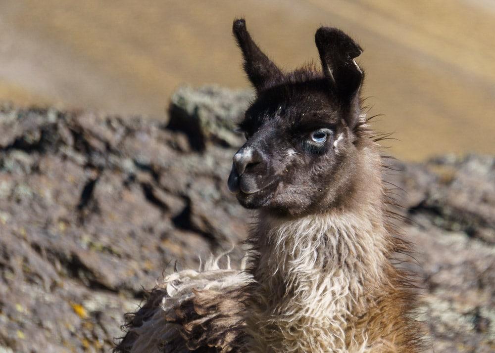 Llama on the Cordillera Real Bolivia