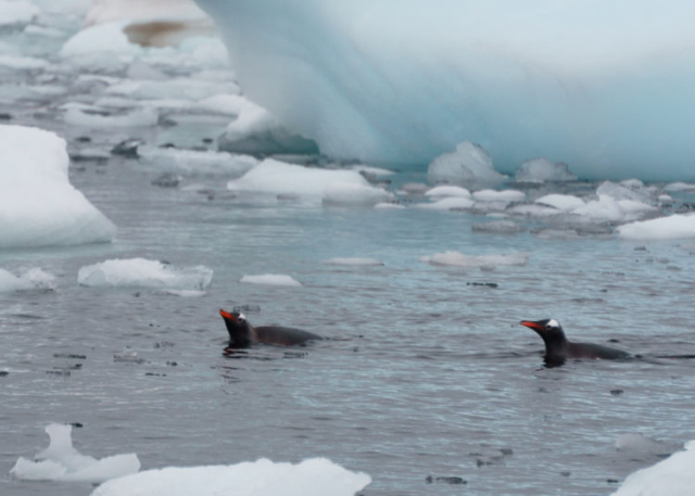 Penguins swimming in Antarctica
