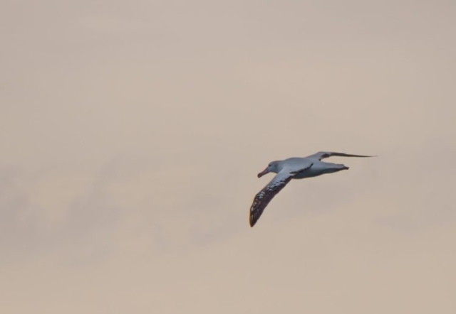 Wandering Albatross following our cruise ship