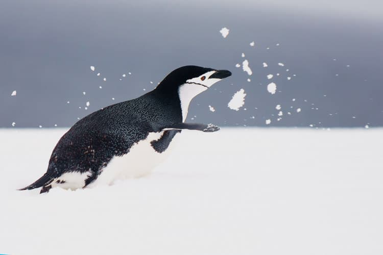 chin strapped penguin kicking up snow